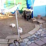 2 Galinhas pões fim à luta entre 2 coelhos