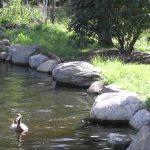 A primeira vez que os patos foram à água