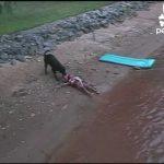 Cão salva criança de morrer afogada