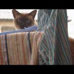 Gato gordinho tenta saltar e cai