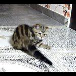 Gato tenta apanhar a própria cauda
