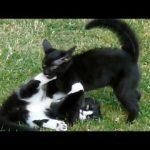 Luta entre gatos