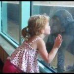 Menina tenta beijar um gorila