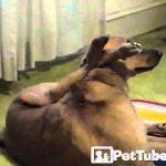 O cão que faz yoga