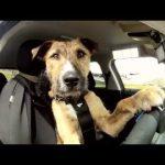 O primeiro cão a conduzir um carro