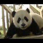 Pandas a divertirem-se à grande