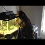 Peixe ataca gato – Costumava ser ao contrário