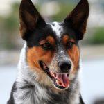 Um cão cheio de habilidade